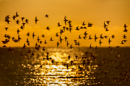 A flock of Dunlin fly over the ocean as the sun rises behind them with its reflection on the water and a bright orange sky.