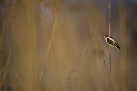 A small Downy Woodpecker clings to a Phragmite Reed in the morning sun with a lot of out of focus grasses around it.