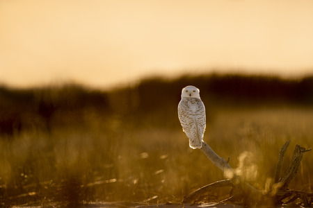 A Snowy Owl perched on driftwood in an open field glowing in the late afternoon sun. Stockfoto