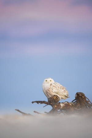 A Snowy Owl perched on driftwood on a beach with soft dusk light and a pastel blue and purple sky background.