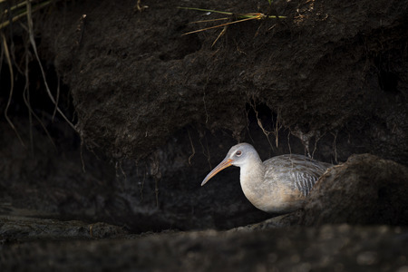 A Clapper Rail is visible under a small cave of mud along the bank of a river in the soft afternoon light.
