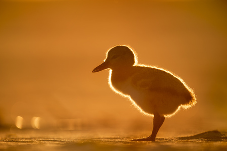 A small American Oystercatcher chick glows in the setting sun as it stands on a sandy beach.