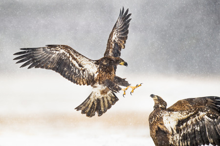 A pair of juvenile Bald Eagles attack each other in the falling snow in an open field in the winter. Stock Photo
