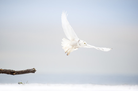 A bright white Snowy Owl flies low over the beach on an overcast winter day with the ocean in the background. Stock Photo