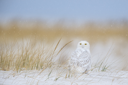 A Snowy Owl sits on the sandy beach with falling snow and brown dune grasses in the background. Stock Photo