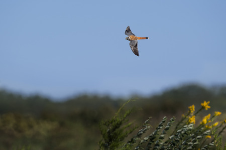 An American Kestrel flies over a fied on a bright sunny day. Stock Photo
