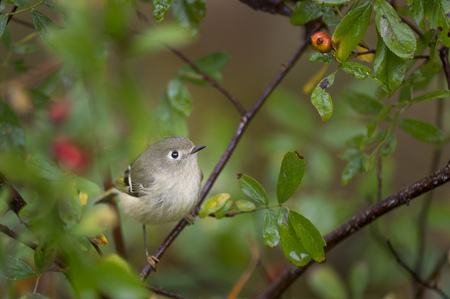 A Ruby-crowned Kinglet perched in bright green leaves after a rain.