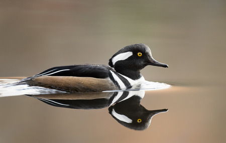 A male Hooded Merganser swims on a calm pond in the early morning soft light with a near mirror reflection in the water.