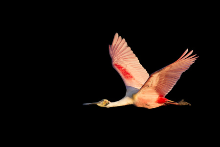 An adult Roseate Spoonbill flies in front of a solid black background in early morning sun with its bright pink colors standing out.