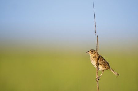 A Seaside Sparrow perched on marsh grass in the morning sun with a smooth blue and green background Stock Photo