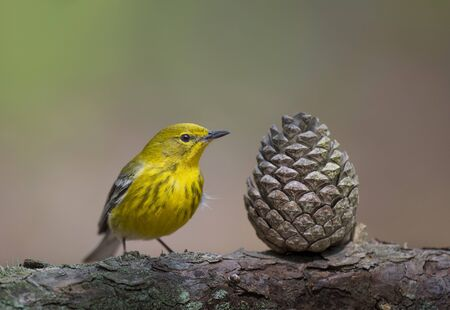 A bright yellow Pine Warbler perches next to a pine cone in the soft morning sunlight with a smooth brown and green background.