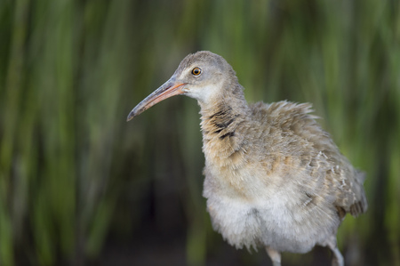 A Clapper Rail close up portrait with a green marsh grass background. Stock Photo