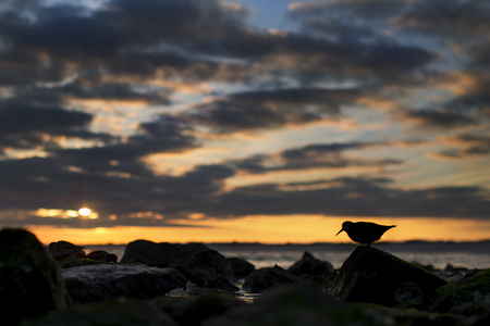A Purple Sandpiper silhouetted against a scenic sunset of orange and blue and clouds.