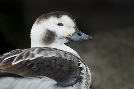 A female Long-tailed Duck close up portrait in soft light with a dark jetty background.