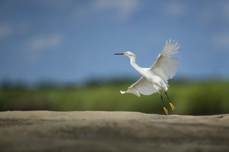 A white Snowy Egret lifts off the ground and takes flight against a green and blue background with its wings spread out in the bright sun. Stock Photo