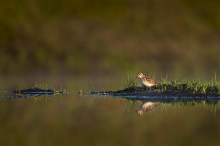 A small Least Sandpiper stands on exposed mud with bright green grass with its reflection in the early morning sun.