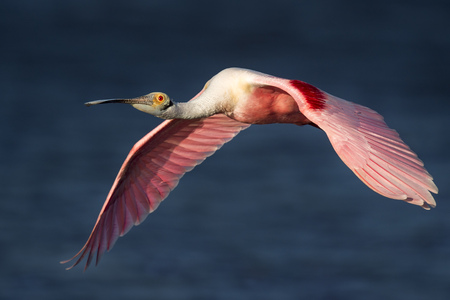 A bright pink Roseate Spoonbill flies into the evening sun showing off its colorful wings against a deep blue water background.