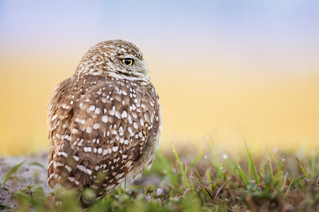 A Florida Burrowing Owl sits on the ground in soft morning light with a smooth yellow and blue gradient background.