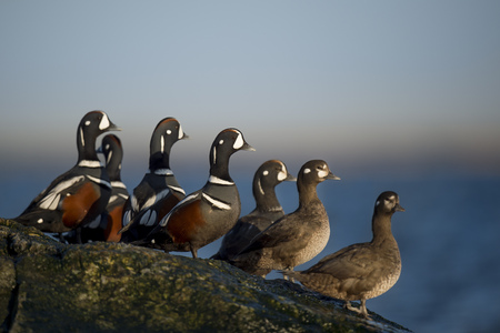A small group of male and female Harlequin Ducks stand on a jetty rock in the morning sun with a smooth blue background.