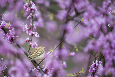A Field Sparrow perched in the center of a Redbud tree surrounded by purple flowers in soft overcast light.