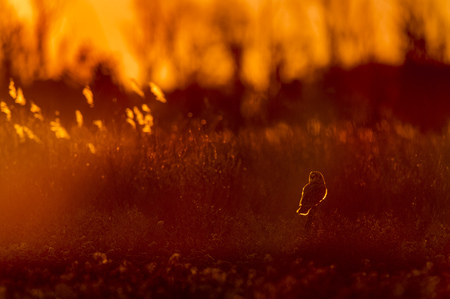 A Short-eared Owl sits on a perch in an open field as the golden setting sun glows behind it. Stock Photo