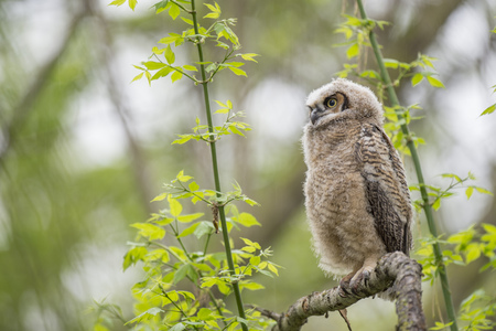 A young Great-horned Owlet perched on a branch in the forest with bright green leaves around it.