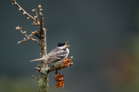 A Blackpoll Warbler perched on a branch singing loudly with a smooth green background in soft overcast light.