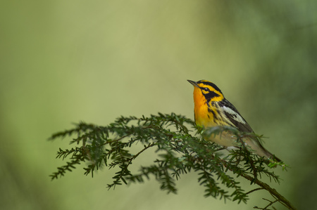 A bright orange and black Blackburnian Warbler perched on a pine branch with a bright green background.