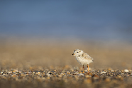 A small and cute Piping Plover chick stands on a pebble covered beach in the morning light with the soft blue ocean background.