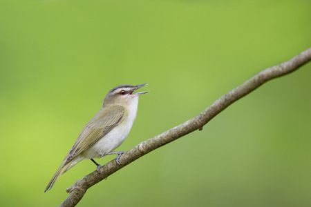 A portrait of a Red-eyed Vireo singing while perched on a branch with a smooth bright green background.