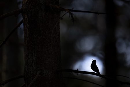 An Ovenbird sings loudly in the early morning forest silhouetted against a tiny opening in the trees. Banco de Imagens