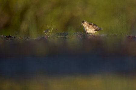 A small Least Sandpiper searches a muddy area for food in the early morning sunlight with a green background. Stok Fotoğraf