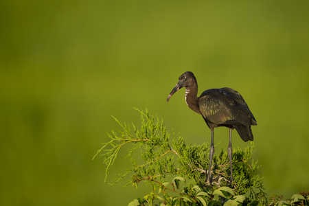 A young Glossy Ibis perched atop a tree with a smooth green marsh grass background in the bright morning sun.