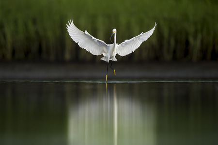 A bright white Snowy Egret hovers just over the surface of the water while hunting in the shallows.