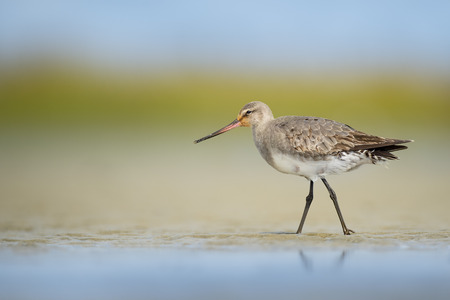 A Hudsonian Godwit stands in the sand with a smooth green and blue background in soft sunny light.
