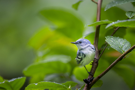 A bright blue Cerulean Warbler perched on a branch of rain covered leaves in soft overcast light. Stock fotó