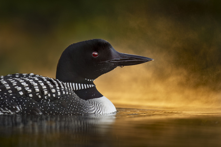 A Common Loon close up portrait with glowing fog on the water just after sunrise on a calm pond.