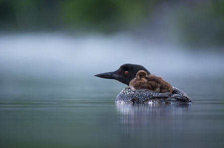 A baby Common Loon rides on the back of its parent on a calm pond in the early morning with fog on the water. Stockfoto