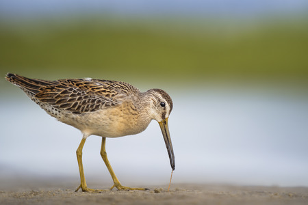 A Short-billed Dowitchers pulls a worm from the sand in soft light with a smooth green and blue background. 写真素材