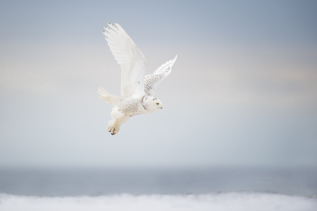 A Snowy Owl takes off in flight over a snow covered beach on a dark stormy day.
