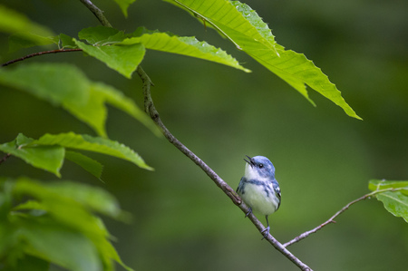 A bright blue Cerulean Warbler perches on a branch surrounded by lush green spring leaves in soft overcast light.