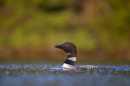 An adult Common Loon floats by on the water in late evening sun showing off its striking black and white colors.