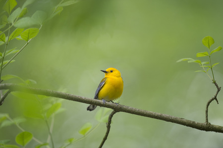 A bright yellow Prothonotary Warbler perched on a small branch with fresh green leaves surrounding it. Banco de Imagens
