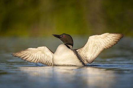 A Common Loon flaps its wings to dry off while floating in the calm water in the early morning sun.