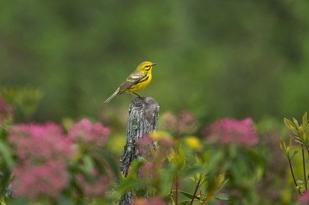 A Prairie Warbler perched on a stump with a green background and bright pink flowers. Banco de Imagens