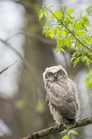 A fluffy Great-horned Owlet looks back over its shoulder in a light rain in the forest.