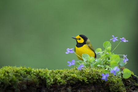 A Hooded Warbler perched on a mossy log with small purple flowers with a smooth green background in soft overcast light.