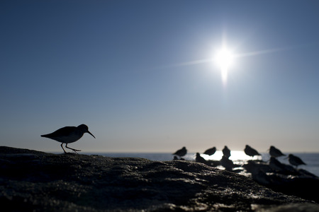 A Dunline shorebird is silhouette against a clear blue sky with the bright sun in the sky on a black jetty rock.