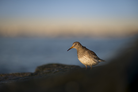 A Purple Sandpiper peers from behind a rock in the bright morning sun with a blue ocean and sky background.