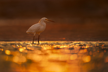 A Snow Egret stands in shallow water in the glowing backlit morning sun. Stock Photo